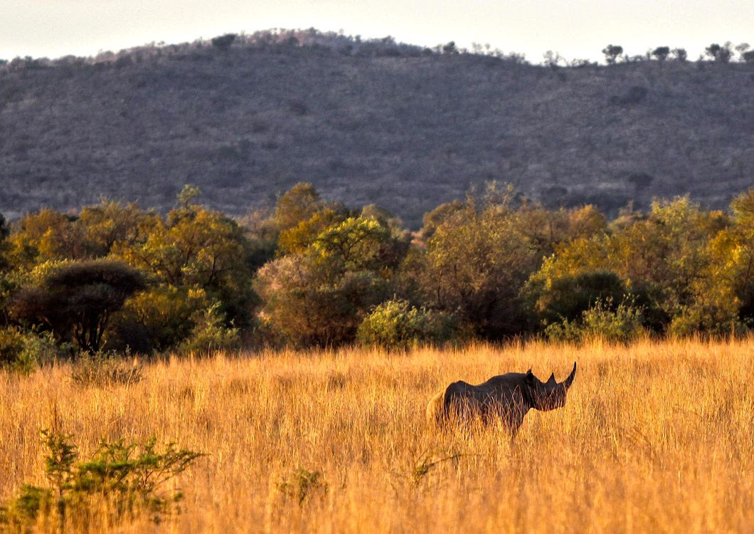 rhino in the south african savannah